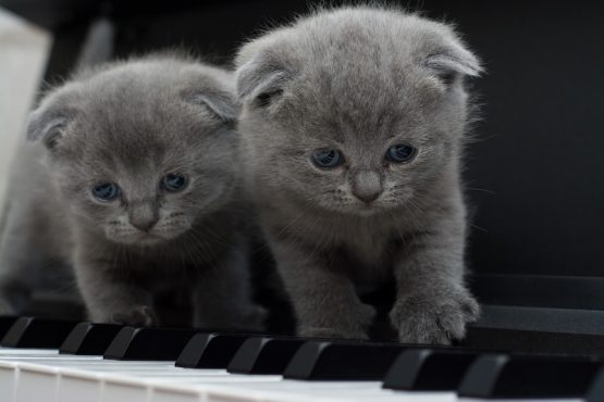 Cats playing piano